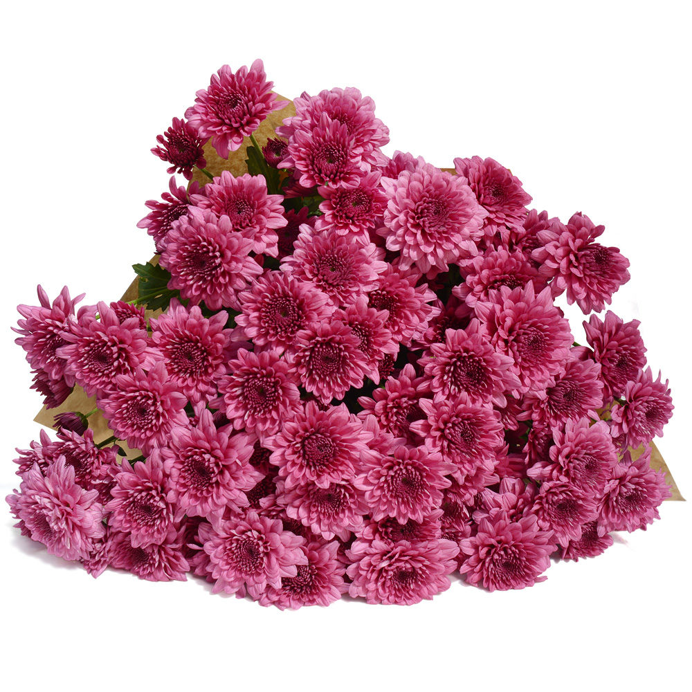 Purple Crysanthemums